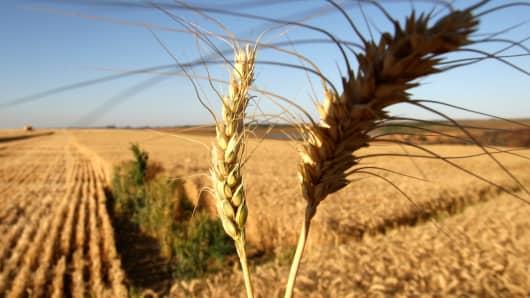 Wheat field in Brazil