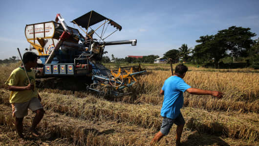 Farmers hunt rats with batons as another farmer uses a harvesting machine to harvest rice in a paddy field in Nakhorn Luang, Ayutthaya province.