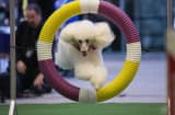 A poodle jumps through a hoop at the 138th Annual Westminster Kennel Club Dog Show press conference at Madison Square Garden on January 15, 2014 in New York City.