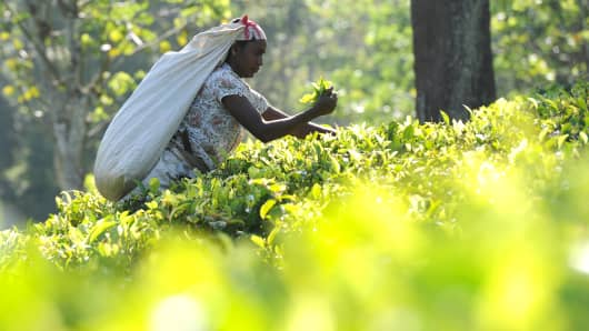 A Sri Lankan tea picker works on a plantation in the central town of Kandy.