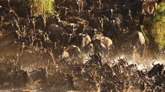 Wildebeest crossing the Mara River, which flows through Tanzania and Kenya.