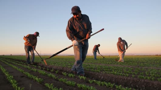 Mexican agricultural workers cultivate romaine lettuce on a farm in Holtville, Calif.