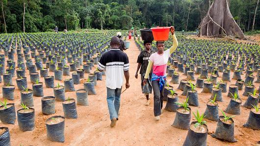 Oil palm nursery in Cameroon.