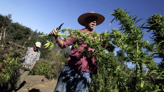 Mike Corral cuts branches from a marijuana plant as he prepares a harvest in Davenport, Calif.