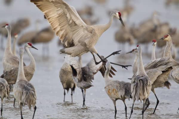 Sandhill cranes dancing on Platte River near Kearney, Nebraska, USA