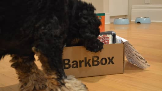 Compass, an American Cocker Spaniel from Brooklyn, sniffs over a BarkBox.