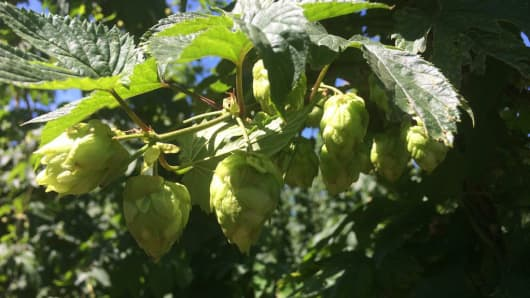 Centennial Hop Plants, one of ten varieties grown at Crosby Hop Farm, Woodburn.