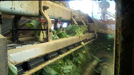 A hop harvester in action