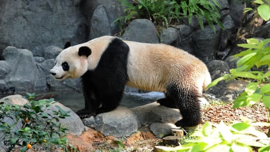 Jia Jia', a panda from China, is pictured in its enclosure during a media preview at the River Safari.
