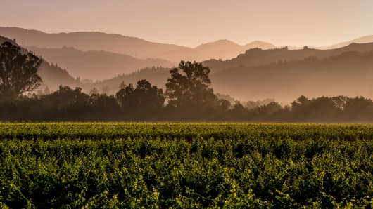 Grapevines in Healdsburg, Calif., soak up ground water as Northern California's Wine Country prepares for the 2014 harvest.