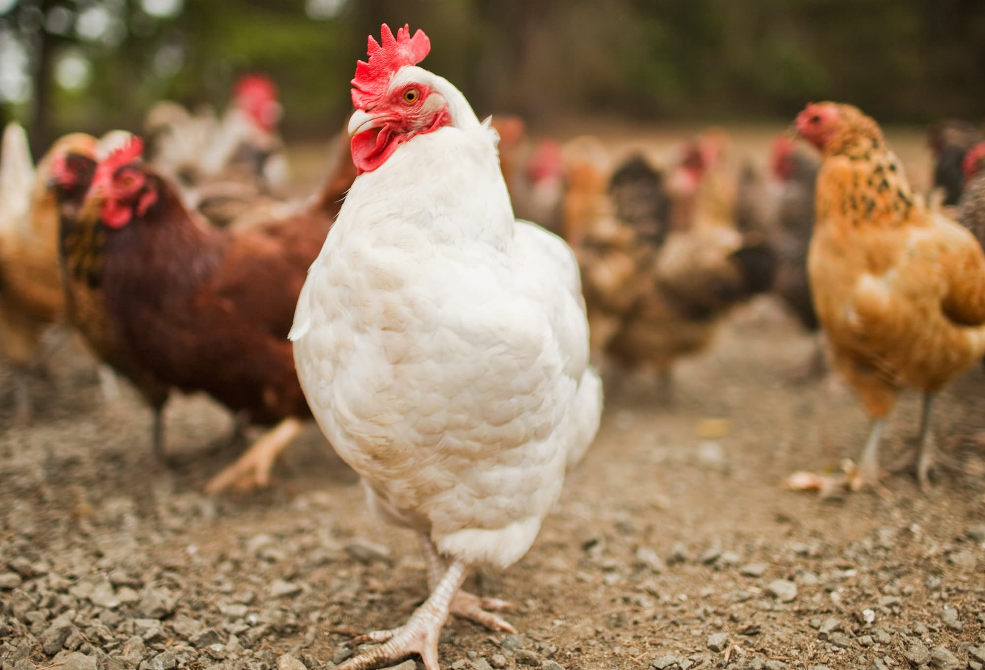 Live chicken pictures