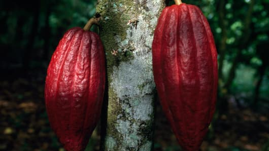 Fruits of the Cacao (Theobroma cacao), Sterculiaceae, around Kumasi, Ghana.