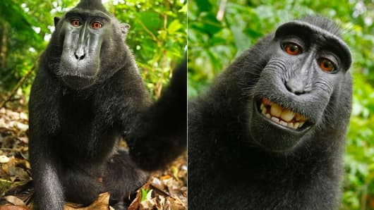 Monkey selfie! Who owns the copyright??