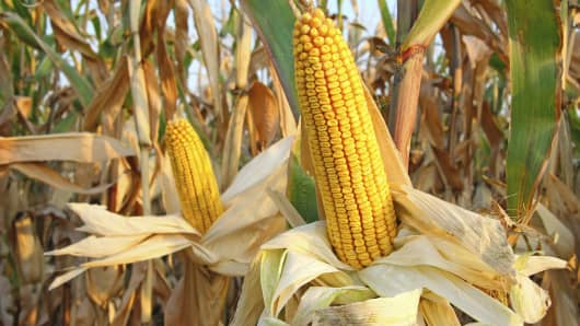 corn crops commodity farming agriculture