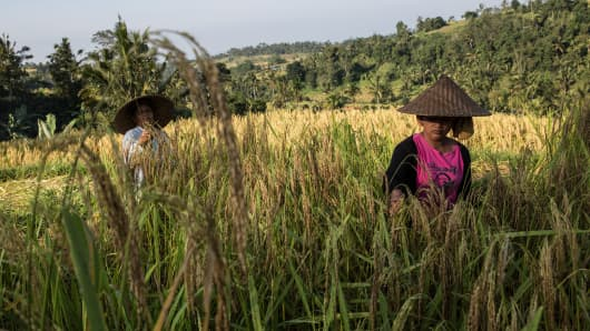 Two farmers cut stalks of rice using a special knife called 'anggapan' during harvest season in Tabanan, Bali, Indonesia.