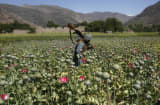 Afghanistan poppy field opium production