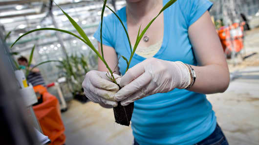 A lab technician sorts corn plants in a greenhouse at the Monsanto Chesterfield Village facility in Chesterfield, Missouri.