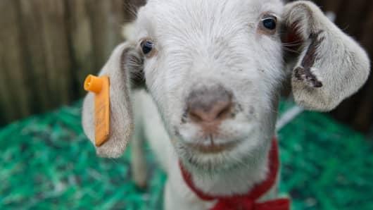 Will Year of Goat give Hong Kong the kick?