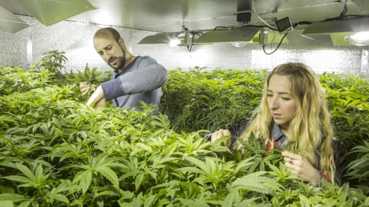 "Micah Sherman, and Nicole Graf, who moved from Brooklyn, N.Y., to cultivate cannabis, care for the ""mother plants"" which will seed their 7,000-square-foot indoor farm in a warehouse south of Seattle, last March, in Olympia, Wash."