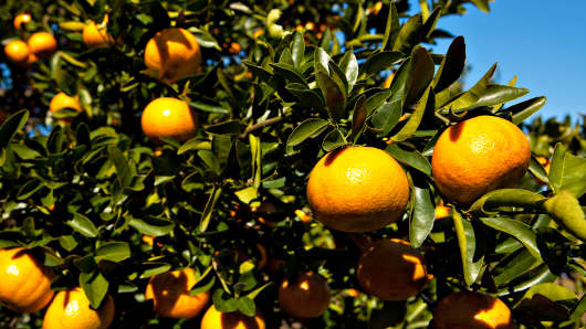 Oranges hang from trees at an orange grove in Winter Garden, Florida.