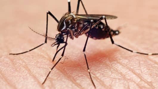 Mosquito Dengue Fever