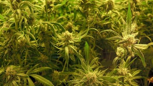 Marijuana Canada Cannabis