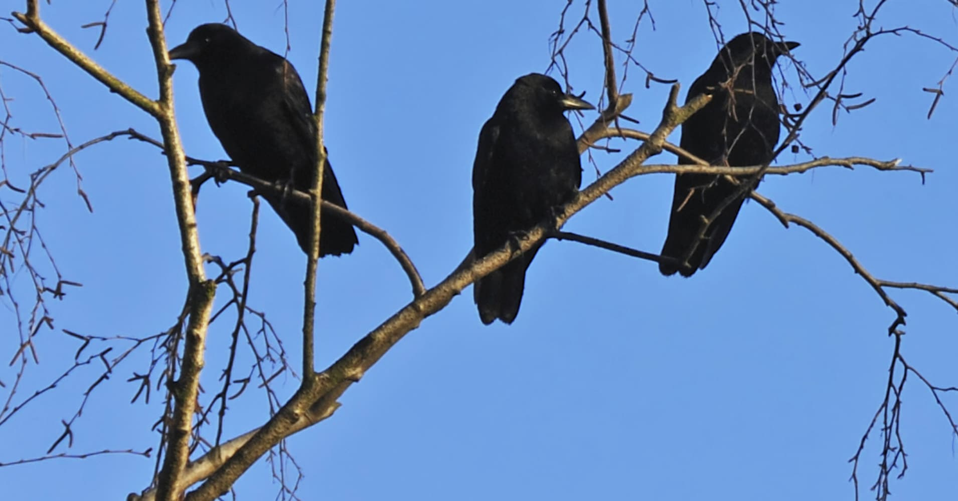 Three black crows