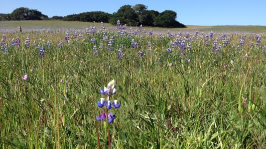 Flowers bloom in a meadow on the grounds of Hearst Ranch in San Simeon, Calif.