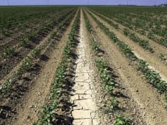 cotton California drought