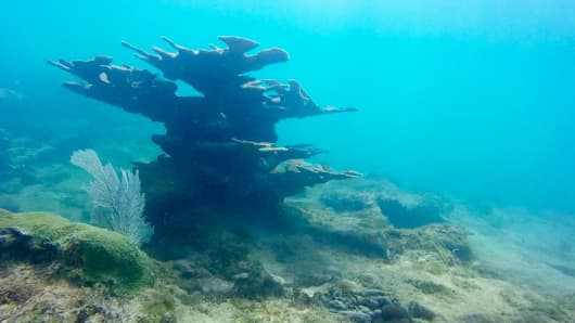 Elkhorn coral near St. Martin in the Caribbean