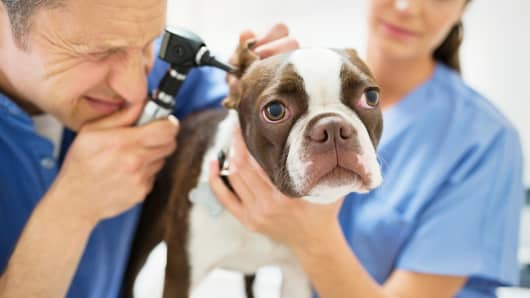 Veterinarian dog medical care