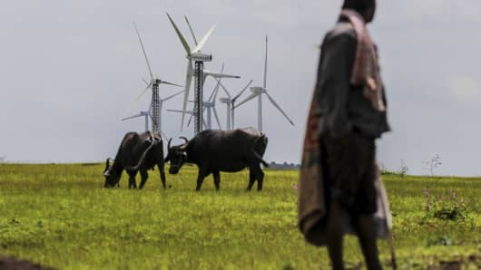 Cows graze in front of wind turbines at the Bharat Light & Power Amberi wind farms in Rewalkawadi, Maharashtra, India.