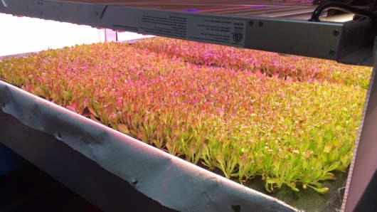 A vertical farm growing lettuce from AeroFarms.