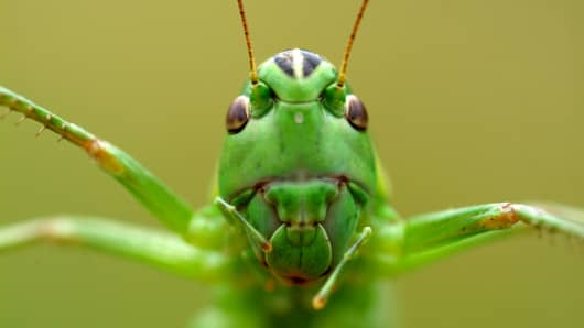 Close-up of cricket