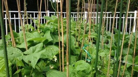 String beans growing in Jim Cramer's garden.