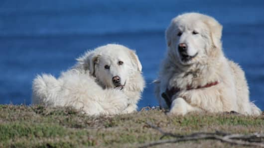 Eight-year old maremma dogs, Eudy and Tula.