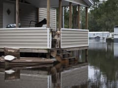 Family pets watch as Michael Carroll (not pictured) arrives to check on them at the Carroll family flooded property in Conway, South Carolina October 6, 2015. The Carroll family has been living with several feet of water on their land since Saturday. Fourt