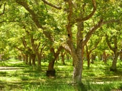Walnut trees, California