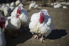 A bird flu outbreak affecting turkeys has been reported in Indiana on Jan. 15th, 2016.