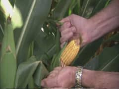 South Africans face corn conundrum