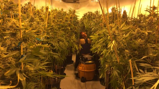 Woman tending to her commercial cannabis crop in an indoor grow facility in Denver, Colorado.