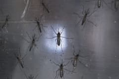 Aedes aegypti mosquitos known to carry the Zika virus.