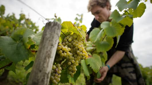 A man harvests the wine grapes on September 21, 2015 at the Muscadet vineyards of the Cognettes domain, in Clisson, near Nantes, western France.