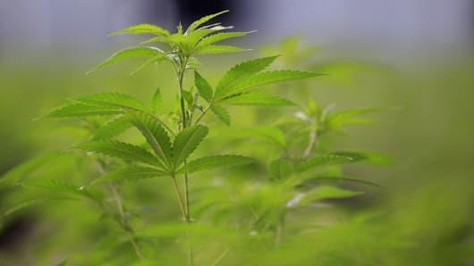 Marijuana plants grow in a greenhouse in Colorado
