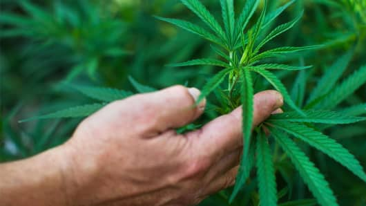 A file photo of marijuana plants
