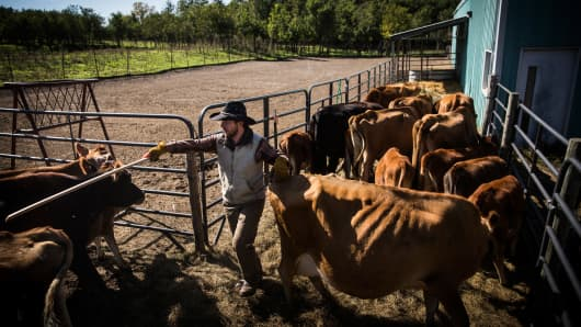 A cattle farmer organizes his cattle while moving them to a new field for grazing in Raymond, Neb.
