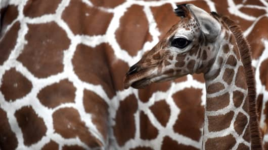 Giraffe are threatened with extinction as populations continue to decline.