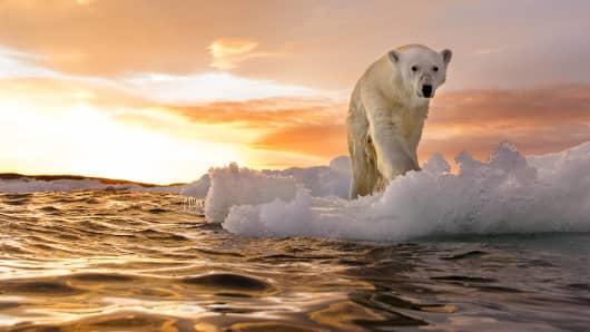 Polar Bear in Repulse Bay, Nunavut Territory, Canada.