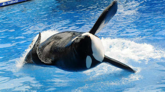 Killer whale 'Tilikum' appears during its performance in its show 'Believe' at Sea World on March 30, 2011 in Orlando, Florida.