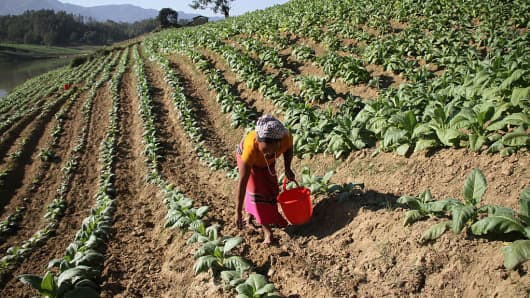 An indigenous woman works at a tobacco field near the Sangu River at Thanchi on January 2, 2017 in Bandarban, Bangladesh.  Tobacco cultivation has been found to destroy soil fertility and groundwater resources.
